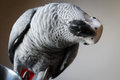 African Gray Parrot Tilts Head in Curiousity Stock Photo