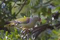African green pigeon perched in tree treron calvus Royalty Free Stock Photo