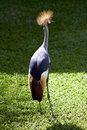 African Grey Crowned Crane In ...