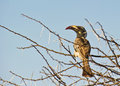 The African grey Hornbill Stock Photos