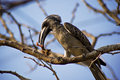 African Grey Hornbill Royalty Free Stock Photo