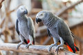 African Grey Parrot Royalty Free Stock Photo