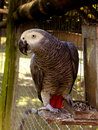 African grey parrot a close up view of and with a scarlet tail Stock Photos