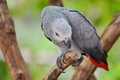 African Grey Parrot  or Grey Parrot (Psittacus erithacus) Stock Photos