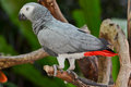 African Grey Parrot  or Grey Parrot (Psittacus erithacus) Stock Photo