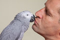 African grey parrot kissing a man his owner Stock Images