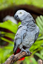 African Grey Parrot in nature Royalty Free Stock Photo