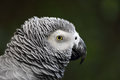 African grey parrot (Psittacus erithacus) Royalty Free Stock Photo