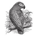 African Grey Parrot or Psittacus erithacus vintage engraving Royalty Free Stock Photo