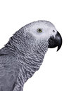 African grey parrot on a white background Stock Images