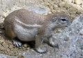 African ground squirrel latin name xerus inaurus Royalty Free Stock Image