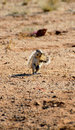 African ground squirrel an standing on its back legs eating Stock Photo