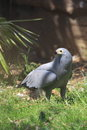 African harrier hawk in the grass Stock Photo