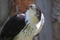 African hawk eagle the detail of Royalty Free Stock Photography