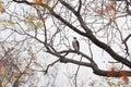African hawk eagle hieraaetus spilogaster kruger national park Royalty Free Stock Images