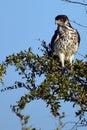 African hawk eagles aquila spilogaster in kruger national park south africa Stock Images