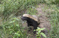 African honey ratel badger or mellivora capensis Royalty Free Stock Image
