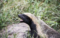African honey ratel badger or mellivora capensis Royalty Free Stock Photo