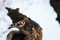 African hoopoe on a tree trunk upupa epops africana kruger national park Royalty Free Stock Photos