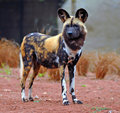 African Hunting Dog Royalty Free Stock Photo