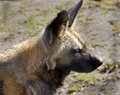 African hunting dog latin name lycaon pictus Stock Photos