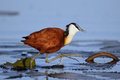 African Jacana Royalty Free Stock Photo