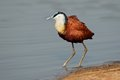 African jacana actophilornis africana kruger national park south africa Royalty Free Stock Photos
