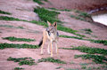 African Jackal Royalty Free Stock Photo