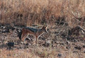 African jackal scouting around for food Stock Images