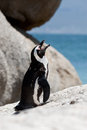African (Jackass) Penguin on boulder Royalty Free Stock Images