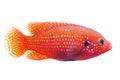 African jewelfish