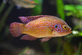African jewelfish (Hemichromis bimaculatus).