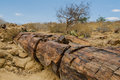 African landscapes damaraland namibia close up of petrifeid wood at khorixas Royalty Free Stock Image