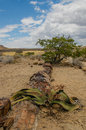 African landscapes damaraland namibia landscape view of the petrifeid forest at khorixas against cloudy blue sky Stock Image