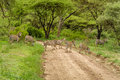 African landscapes lake manyara national park landscape a group of zebras crossing the road at tanzania Royalty Free Stock Photos