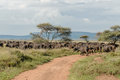 African landscapes serengeti national park tanzania landscape a group of water buffalo crossing the road at Stock Images