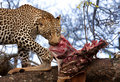 African leopard eating Royalty Free Stock Photos