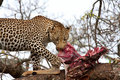 African leopard eating Royalty Free Stock Photo