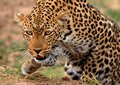 African Leopard getting ready to pounce with front paw elevated in motion Royalty Free Stock Photo