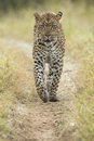 African leopard panthera pardus south africa a male walking in s mala mala private game reserve Royalty Free Stock Image