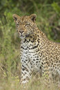 African leopard panthera pardus south africa in s mala mala private game reserve Stock Photo