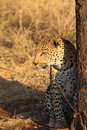 African leopard sitting next to tree Royalty Free Stock Photo
