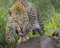 African Leopard, snarling, South Africa Royalty Free Stock Photos