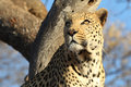 African leopard in tree looking to left Royalty Free Stock Image