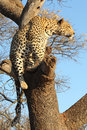 African leopard in tree looking to right Stock Photography