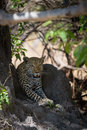 African Leopard waiting in shade Royalty Free Stock Photo