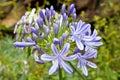 African lilly - Agapanthus umbellatus