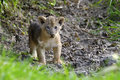 African lion cub Royalty Free Stock Photo
