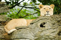 African Lion female Royalty Free Stock Photo