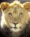 African lion full frame close up big cat Royalty Free Stock Photos
